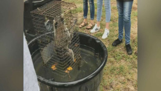 Teacher allegedly captured drowning raccoons in front of students, video shows