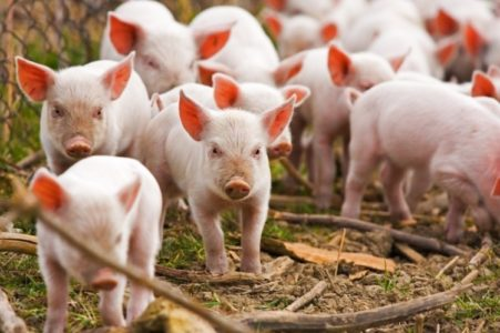 Activists face charges over piglets stolen from Utah farm