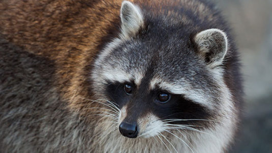 Raccoon scales 20-story skyscraper, rises to social media stardom