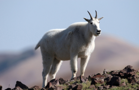 See mountain goats in unique terrain of the Tushar Mountains