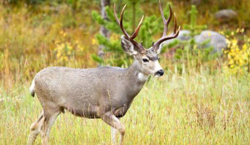 Wildlife Officials Looking For Deer Poacher In Beaver County