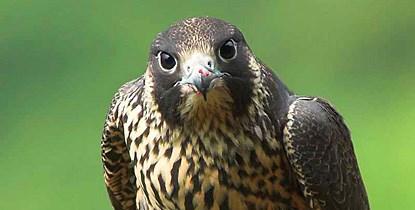 Zion re-opens climbing routes after falcon nesting season