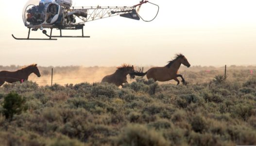 Group calls for investigation into horse roundup in Utah