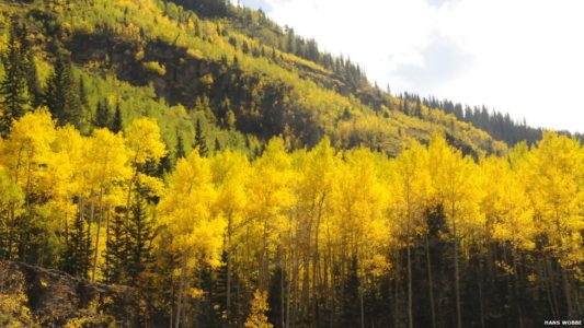 Study finds huge aspen grove continues to decline