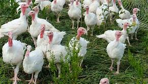 Norbest to donate 100 live turkeys to animal activists