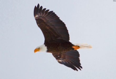 February is Bald Eagle Month in Utah