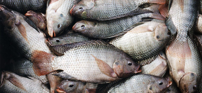 Utah couple on track to open state's first tilapia farm