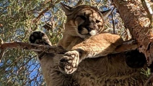 Mountain lion rescued from 50 feet above home in Southern California
