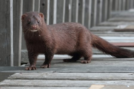 Mink bounty added in Sevier County